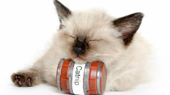 Fungsi-Catnip-Pada-Kucing