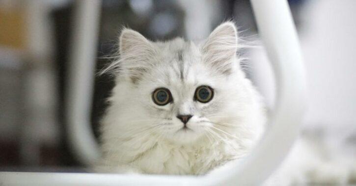 Manfaat-Vitamin-A-untuk-Kucing