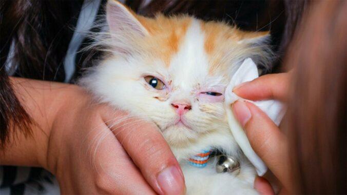Cara-Mengobati-Sakit-Mata-Pada-Kucing-Anggora