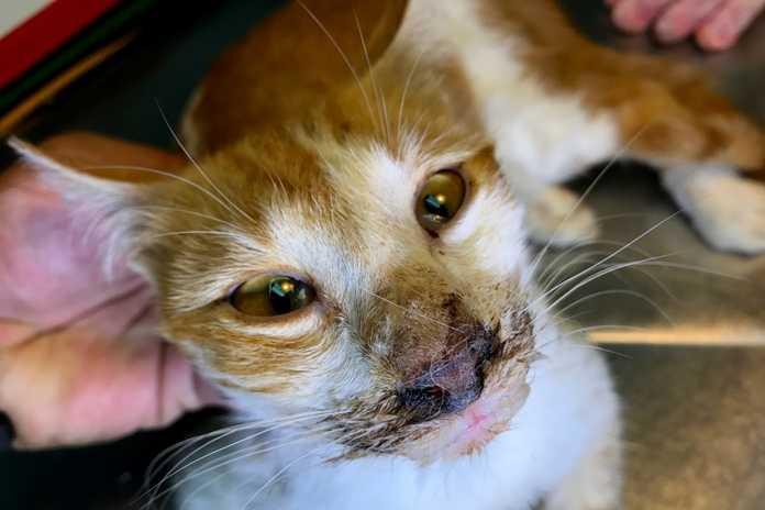 Gejala-Calicivirus-Pada-Kucing