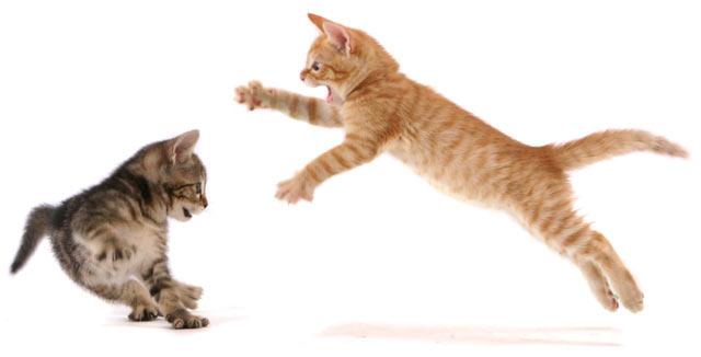 Cara-Membuat-Kucing-Tidak-Berkelahi