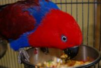 Makanan Burung Nuri