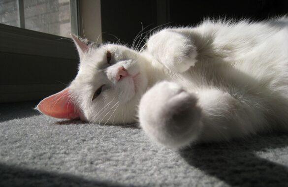 Manfaat-Kucing-Dijemur-Pagi-Hari