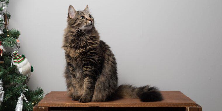 Manfaat-Madu-Untuk-Kucing-Anggora