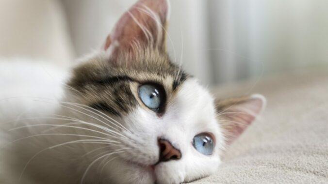 Manfaat-Vitamin-C-Untuk-Kucing