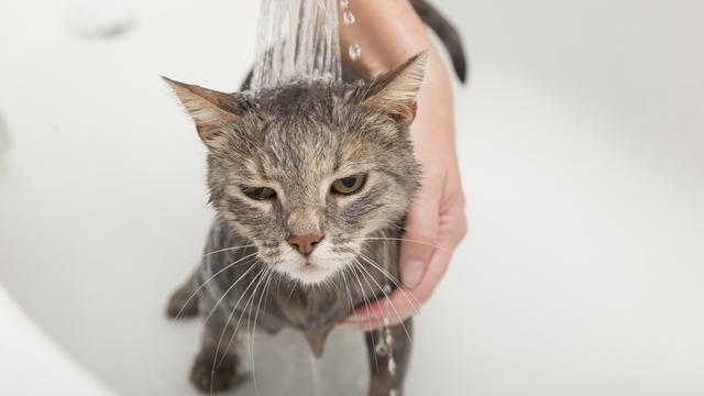 Cara-Memandikan-Kucing-Agar-Tidak-Berontak