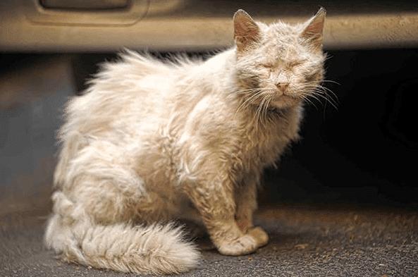 Cara-Menghilangkan-Jamur-Pada-Kucing-Anggora