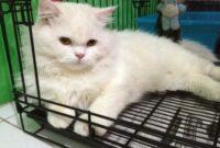 Cara-Menghilangkan-Stres-Pada-Kucing-Anggora