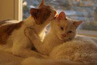 Ciri-Ciri-Kucing-Birahi