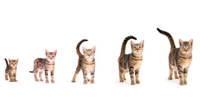 Proses-Pertumbuhan-pada-Kucing