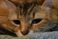 Tanda-Anemia-Pada-Kucing