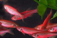 Cara-Budidaya-Ikan-Hias-Red-Zebra