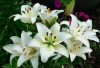 Cara-Merawat-Bunga-Lily-Putih