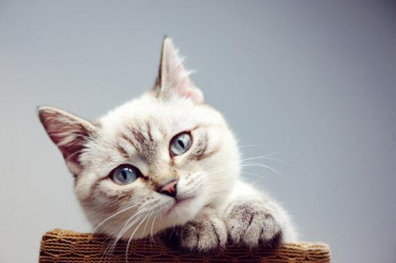Hukum-Memelihara-Kucing