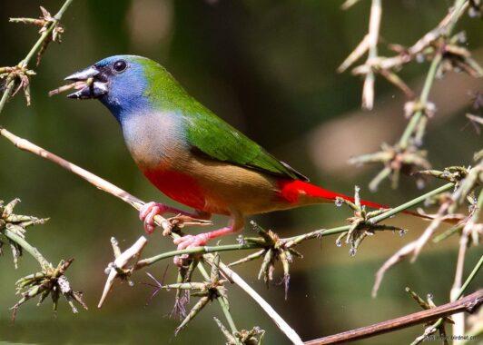 Cara-Budidaya-Burung-Bondol-Hijau