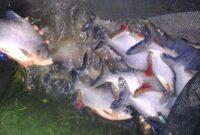Cara-Budidaya-Ikan-Bawal-Di-Kolam-Terpal