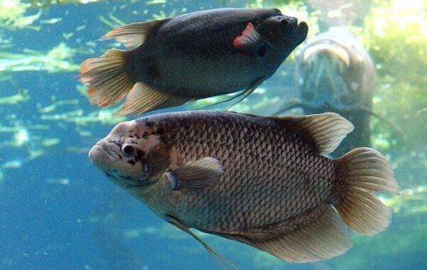 Cara-Supaya-Ikan-Gurame-Cepat-Besar