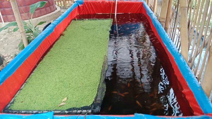 Cara-Budidaya-Ikan-Nila-di-Kolam-Terpal