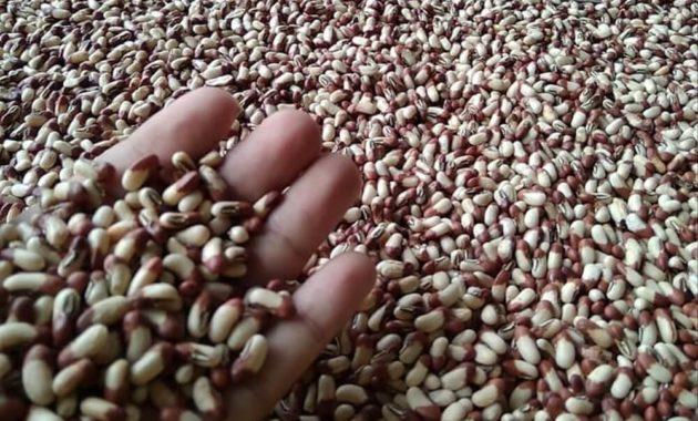 Cara-Memilih-Benih-Kacang-Panjang