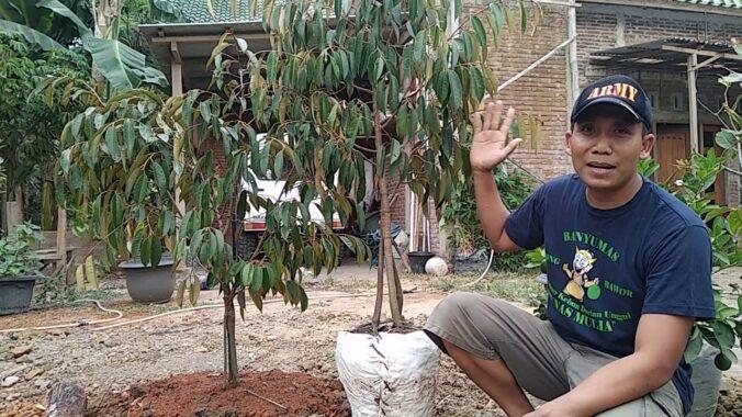 Cara-Memilih-Bibit-Durian-Musang-King-yang-Unggul