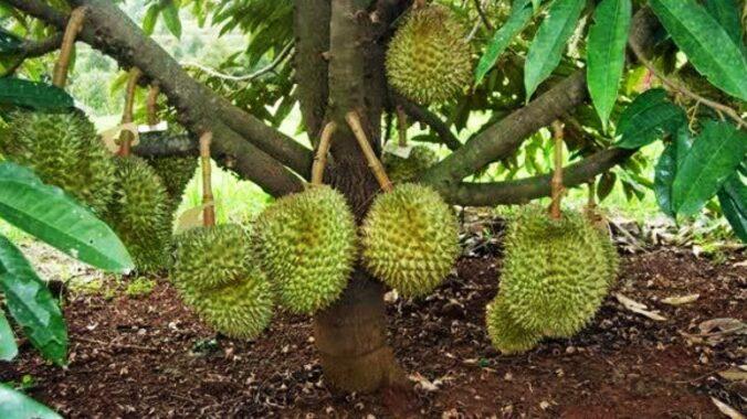 Cara-Memupuk-Durian-dengan-Pupuk-Nasa-dan-Perawatan-Pohon