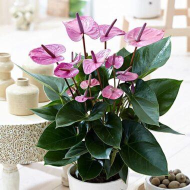 Bunga-Anthurium