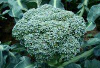 Cara-Menanam-Brokoli-dengan-Sistem-Hidroponik