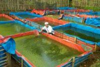 Cara-Budidaya-Ikan-Mujair-Di-Kolam-Terpal